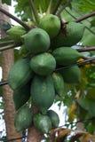 Raw papaya Royalty Free Stock Photos