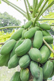 Raw papaya. Is ready to be cook Stock Images