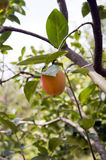 Raw Peach Stock Photos