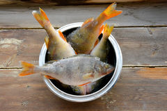 Raw perch fish in a bowl. On wooden background Royalty Free Stock Images