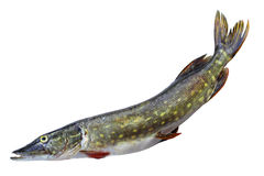 Raw pike Royalty Free Stock Image