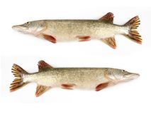 Raw pike Royalty Free Stock Photography