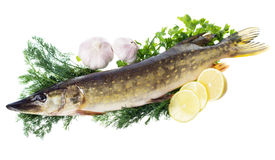 Raw pike with cooking ingredients Stock Images