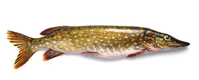 Raw pike fish Stock Photo