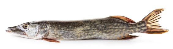 Raw pike fish Stock Images
