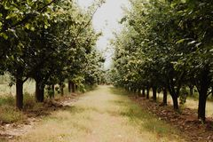 Raw of plum trees in orchard. Plum trees on sunny summer day Stock Photos