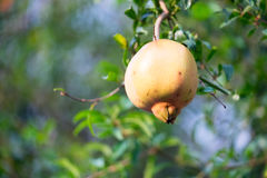Raw Pomegranate. On the branch with blur background Royalty Free Stock Photos