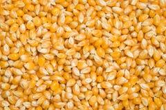 Raw popcorn seed Royalty Free Stock Photo
