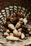 Raw potato in the basket at organic farm.  Stock Photo