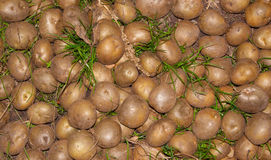 Raw potato close up. Nature background. Agricultural production Stock Images