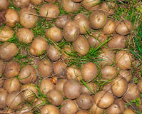 Raw potato close up. Nature background. Agricultural production Stock Photos