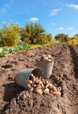 Raw potato at the field. Fresh and raw potato at the field Stock Photography