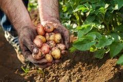 Raw potato in hands of gardener. Potato harvest in garden Royalty Free Stock Image