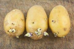 Raw potato on wood background. Closeup raw potato on wood background Royalty Free Stock Images