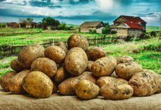 Raw potatoes amid the countryside Stock Photos