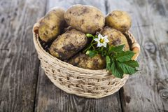 Raw potatoes with leaves and flowers in a basket royalty free stock image