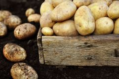 Raw potatoes in wooden crate, summer vegetables harvest on soil background royalty free stock photo