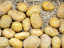 Raw potatos on the straw background. In harvest process Stock Photography
