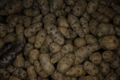 Raw potatos. A very old German potato variety a container Royalty Free Stock Image