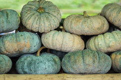 Raw pumpkins in market. Stock Photography