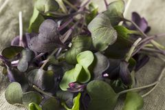 Raw Purple Organic Radish Microgreens Royalty Free Stock Photography