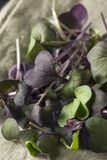 Raw Purple Organic Radish Microgreens Royalty Free Stock Image