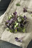 Raw Purple Organic Radish Microgreens Royalty Free Stock Image