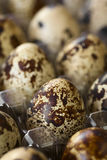Raw Quail Eggs. Fresh raw quail eggs in egg box, photographed with natural light Selective Focus, Focus on the front of the egg one third into the image Stock Images