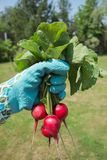 Raw radish in the women hand. Close up Royalty Free Stock Image