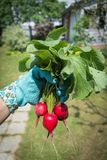 Raw radish in the women hand. Close up Stock Photo