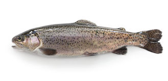 Raw rainbow trout Royalty Free Stock Image