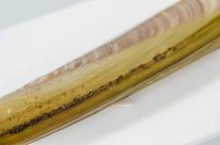 Raw razor-shell on a white dish. Royalty Free Stock Photo