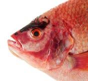 Raw Red tilapia Stock Image