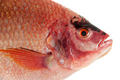 Raw Red tilapia Stock Photography