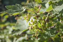 Raw Redcurrant, Ribes rubrum Stock Photography