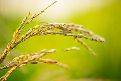 Raw Rice flied agriculture plant Stock Image