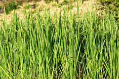 Raw rice Royalty Free Stock Images
