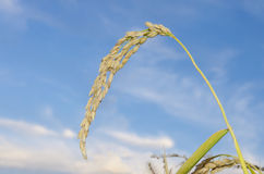 Raw rice plant Stock Images