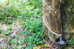 Raw rubber on the rubber tree. Royalty Free Stock Images