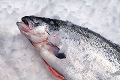 Raw Salmon on Ice. In the Marke Royalty Free Stock Photo
