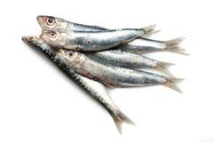 Raw sardines Royalty Free Stock Photos