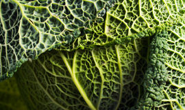 Raw Savoy cabbage close up. Background Royalty Free Stock Photos