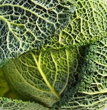 Raw Savoy cabbage close up. Background Stock Images