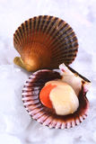 Raw Scallop. Raw queen scallop (lat. Aequipecten opercularis) with a colorful scallop shell on ice (Selective Focus, Focus the front of the scallop's meat Stock Images