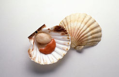 Raw scallop Stock Photo