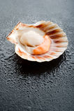 Raw scallop on black stone. Background Royalty Free Stock Photo