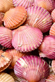 Raw scallop. Closeup,  background Royalty Free Stock Photo