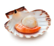 Raw scallop. Isolated on white background Royalty Free Stock Photos