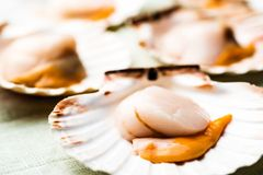 Raw scallops. Closeup of raw scallops on a light blue cloth royalty free stock images