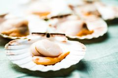 Raw scallops Stock Images